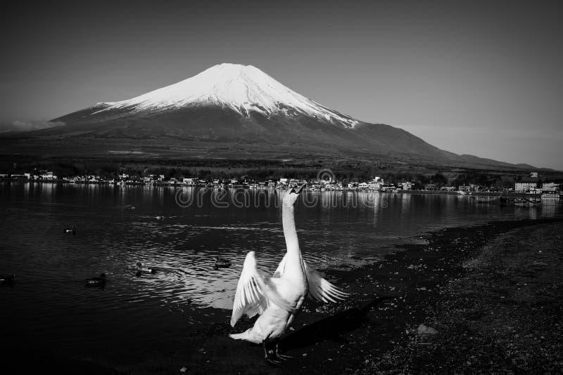 крыла щитка лебедя с mt fuji стоковая фотография rf