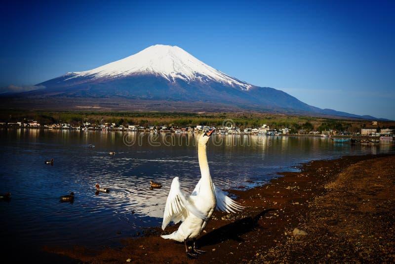 крыла щитка лебедя с mt fuji стоковые изображения