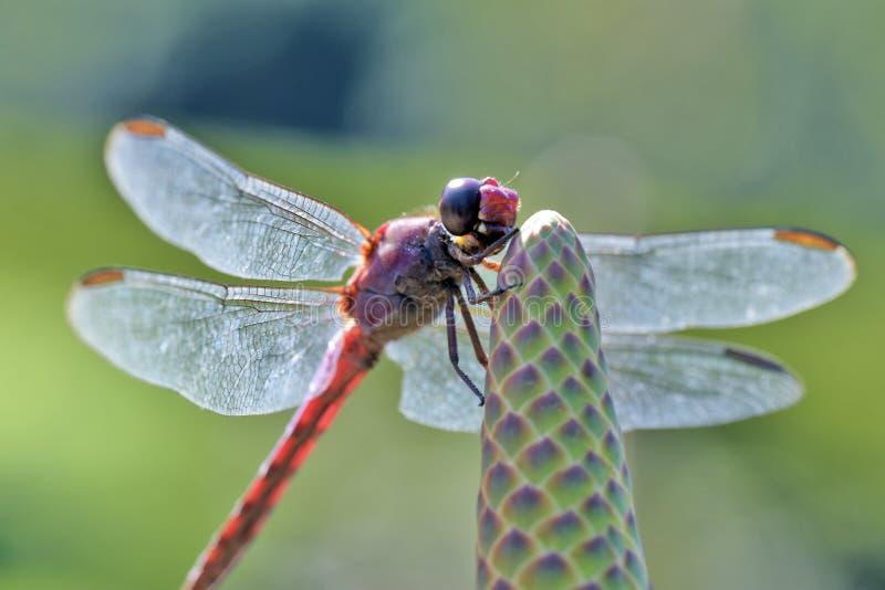 Крыла ` s dragonfly яркие в backlight стоковые изображения
