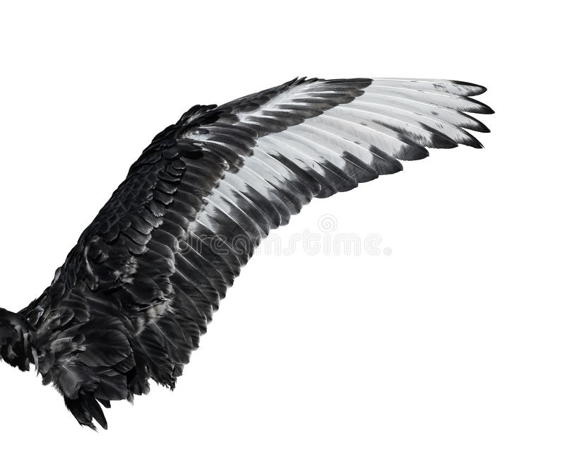 Крыло молодого черного лебедя белизна изолированная предпосылкой стоковое изображение rf