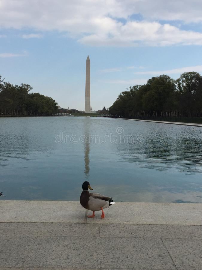 Кряква Вашингтона стоковое изображение