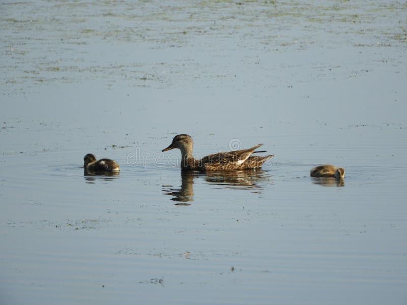 Кряква и ее утята плавают на спокойной воде болота стоковые фото