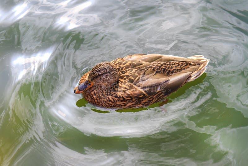 Кряква перемещаясь в чистую воду стоковое фото