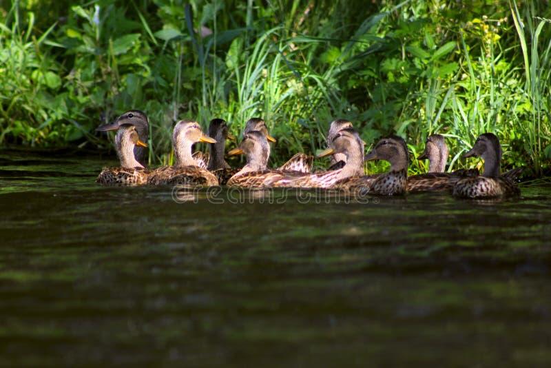 Кряква - птица от семьи отрыва уток водоплавающей птицы Самая известная и самая общая дикая утка Группа в составе утки a кряквы стоковые изображения rf