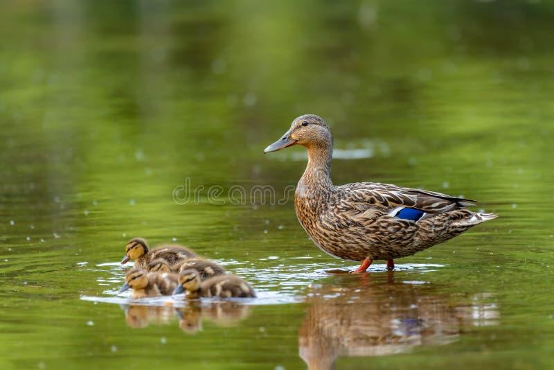 Кряква Ducks platyrhynchos Anas стоковые изображения rf