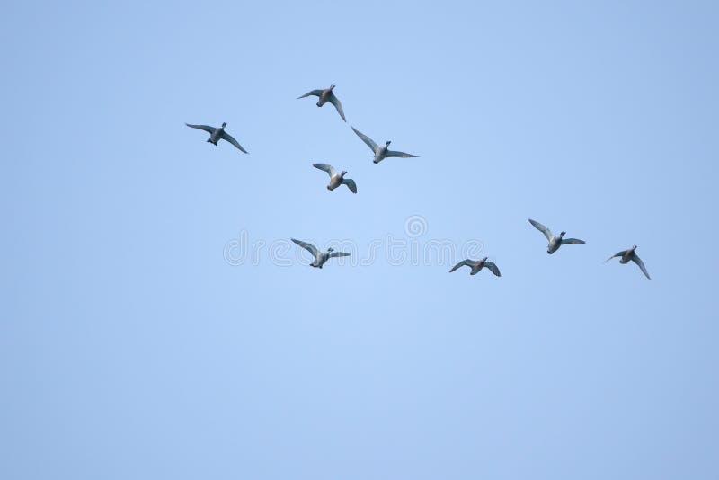 Кряквы летая стоковое изображение rf