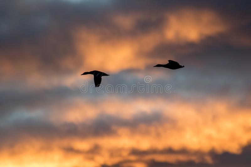 Кряквы silhouetted против красивого неба захода солнца стоковая фотография