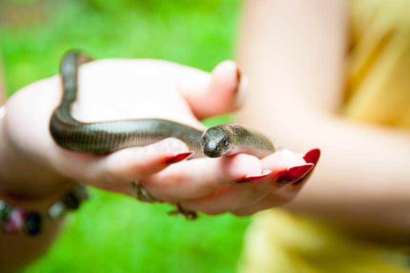 Кто-нибудь держит медленных червя или Anguis fragilis в руке Медленные черви semifossorial роя ящерицы стоковые фото