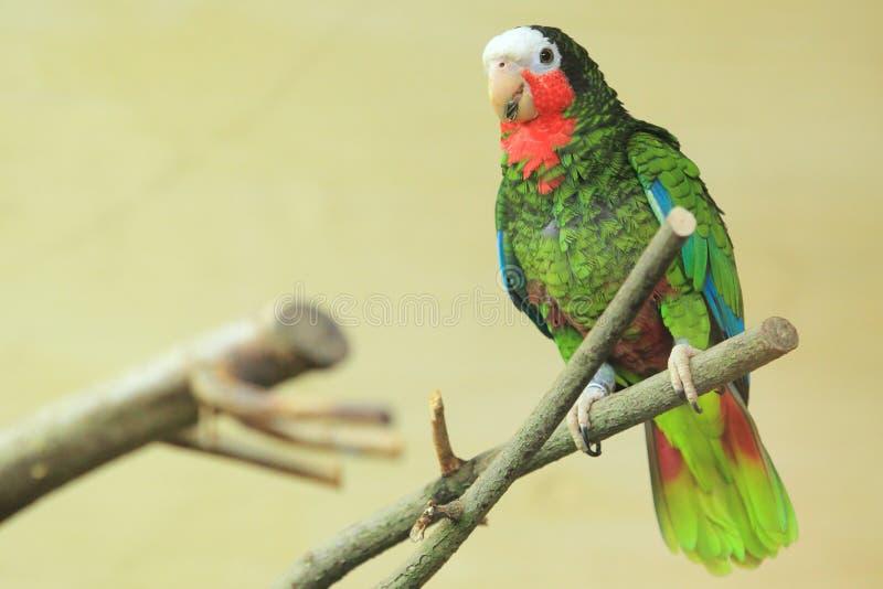 Кубинец Амазонка стоковая фотография rf
