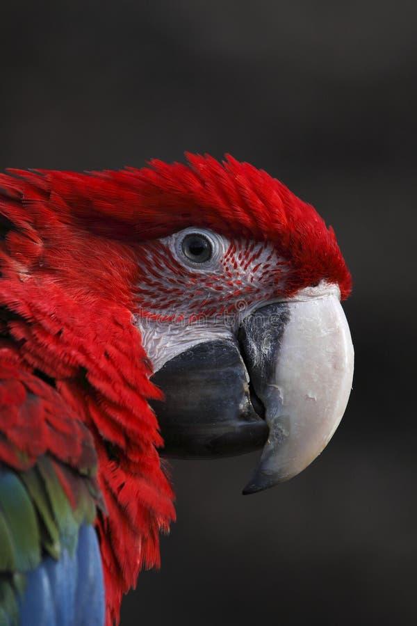 кубинский красный цвет macaw детали стоковые фотографии rf