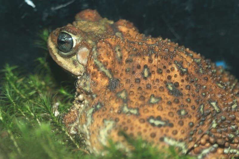 Кубинськая мал-ушастая жаба стоковая фотография