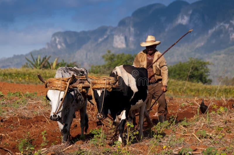 Кубинський фермер вспахивает его поле с 2 волами 22-ого марта в Vinales, Кубе. стоковые изображения