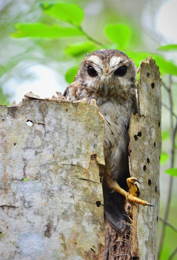 Кубинський Screech-сыч в отверстии дерева стоковая фотография rf
