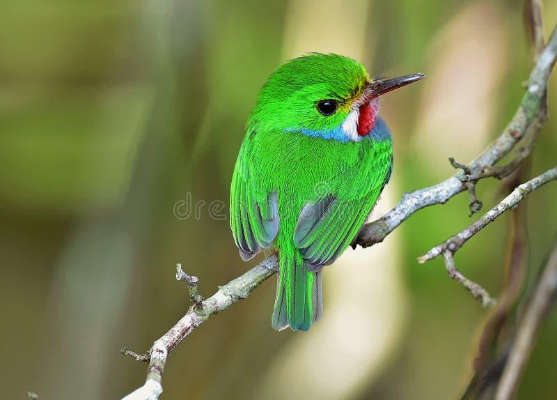 Кубинський Tody (Todus multicolor) стоковое фото rf
