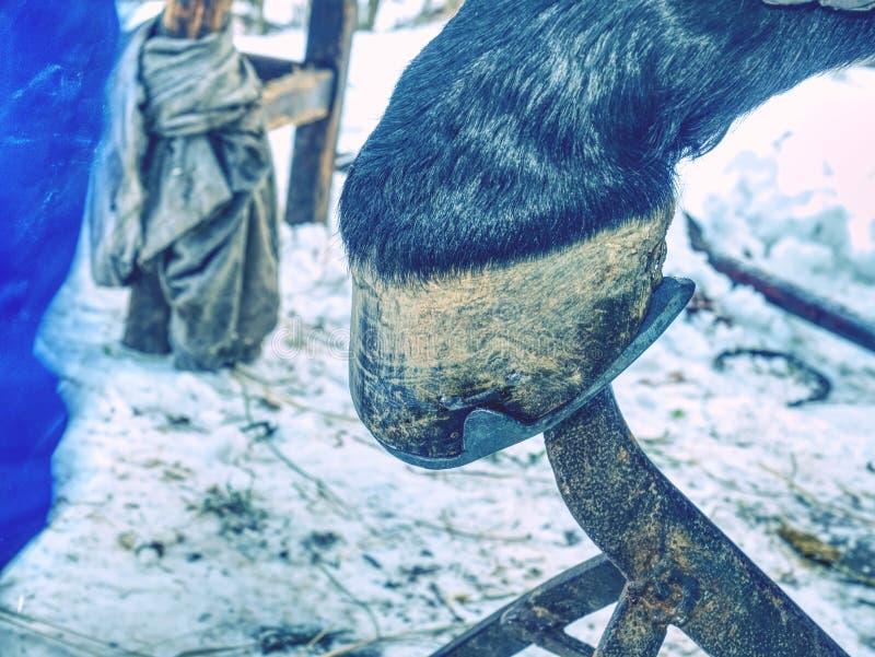 Кузнец или equine farrier приспосабливают ботинок лошади стоковые изображения