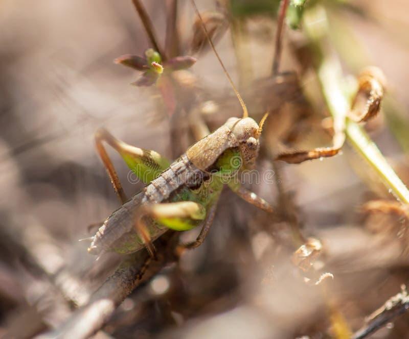 Кузнечик в природе весной стоковое изображение
