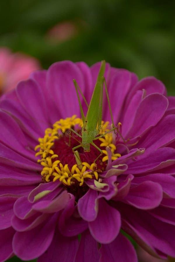 Кузнечик и цветок стоковая фотография
