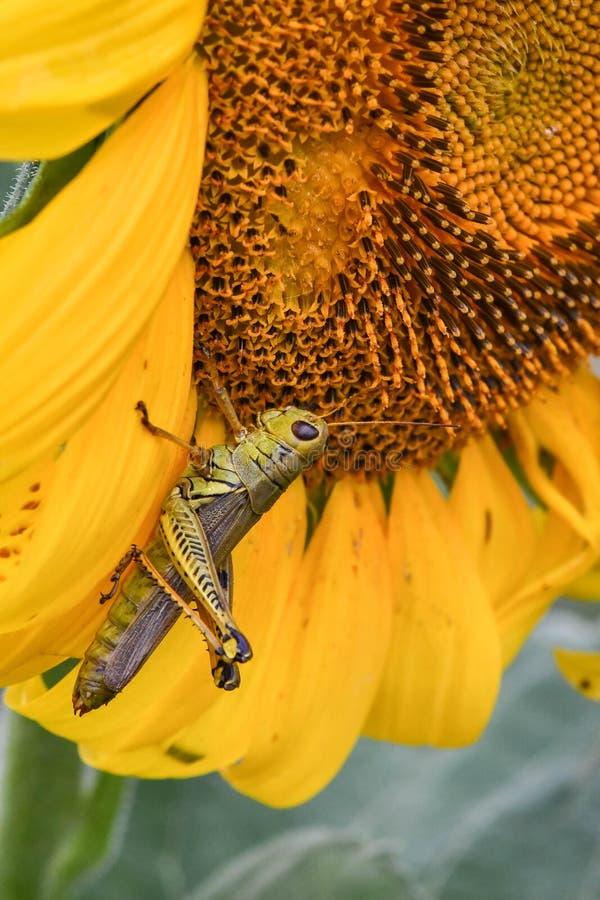 Кузнечик на зацветая солнцецвете, яшме, Georgia, США стоковое фото