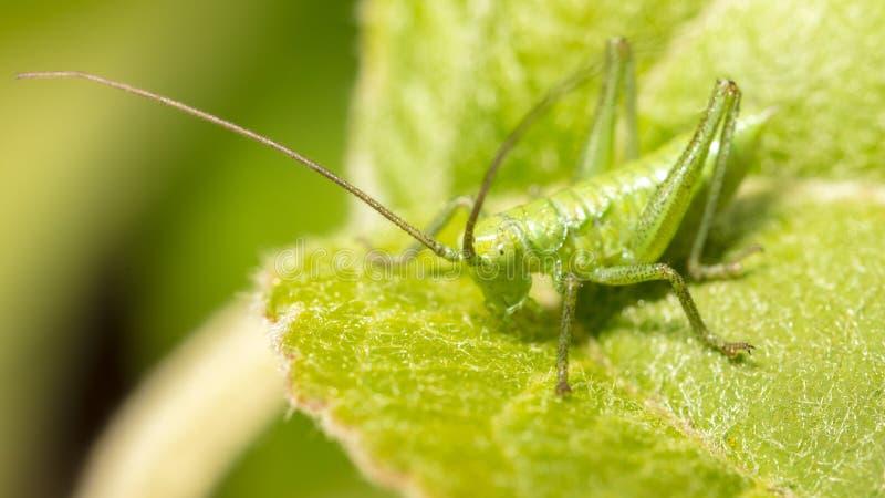 Кузнечик на зеленых лист в природе стоковая фотография rf
