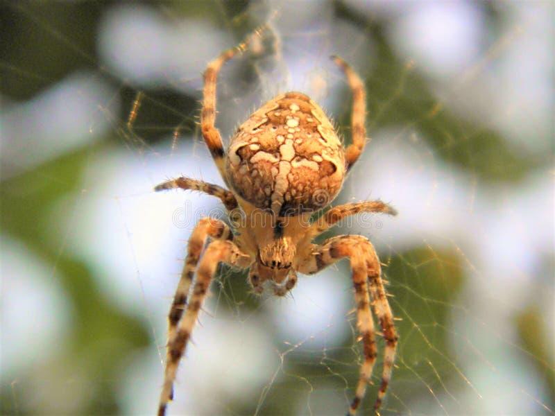 Кузнечик паука фотографии макроса насекомых природы стоковые фотографии rf