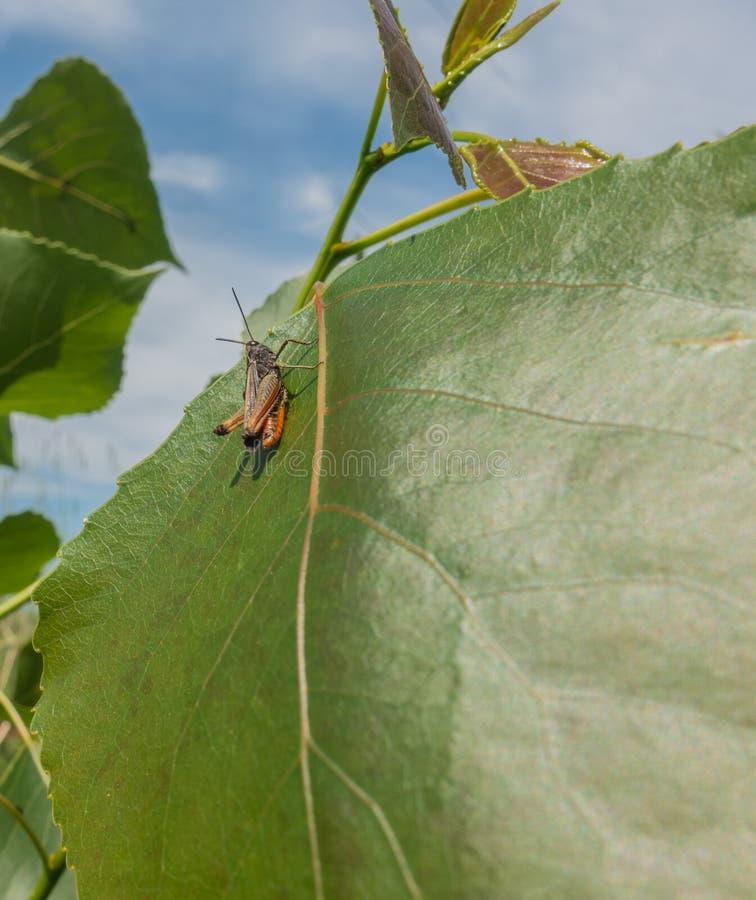 Кузнечик полесья на лист дерева тополя стоковое фото