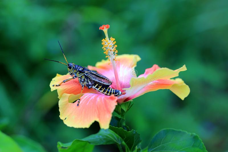 Кузнечик Lubber на цветке гибискуса стоковые фото
