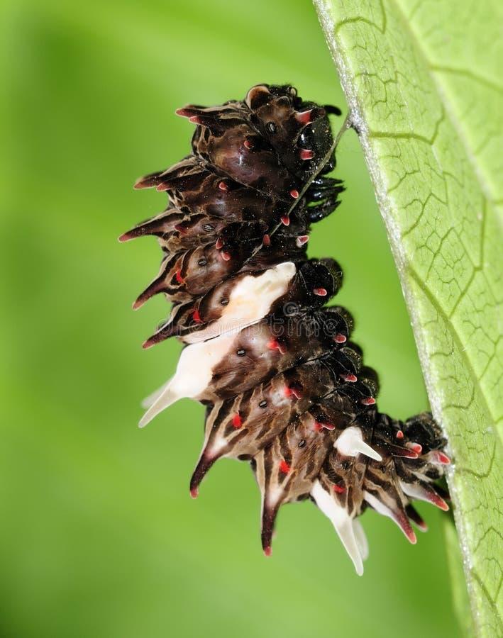 куколки гусеницы общие подготавливают розово для того чтобы преобразовать стоковое фото rf
