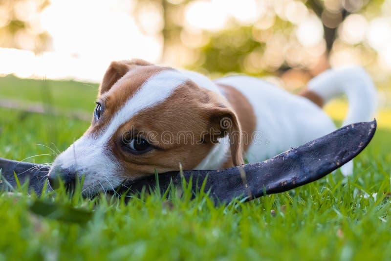 Кукольный Джек Рассел Браун сидит на зеленом газоне, забавная собака стоковое изображение rf