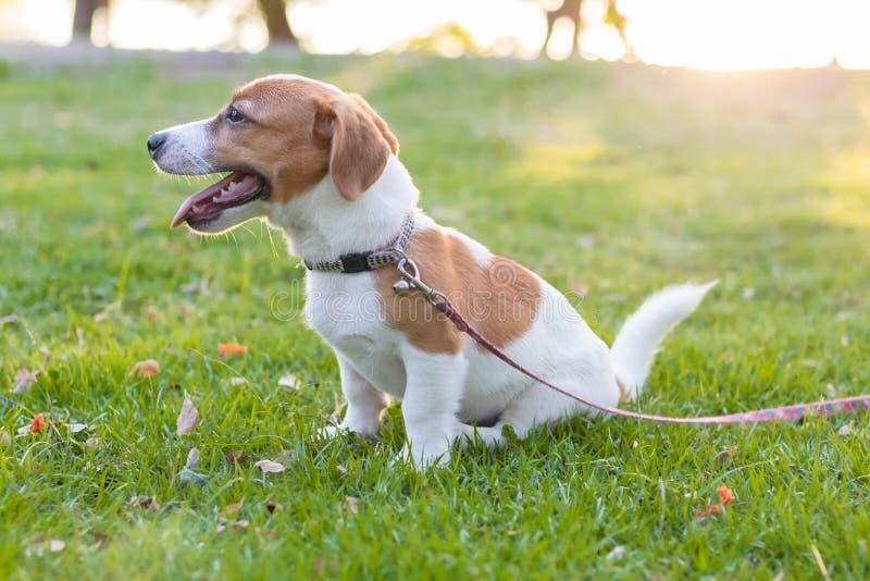 Кукольный Джек Рассел Браун сидит на зеленом газоне, забавная собака стоковое фото