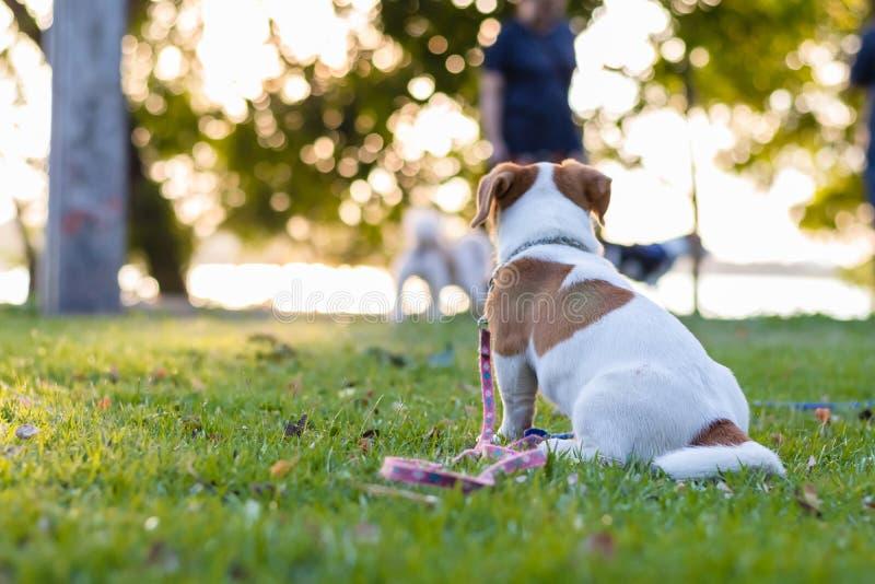Кукольный Джек Рассел Браун сидит на зеленом газоне, забавная собака стоковая фотография rf