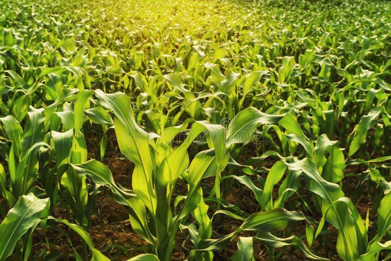 кукурузное поле и заход солнца Сельское хозяйство стоковое изображение