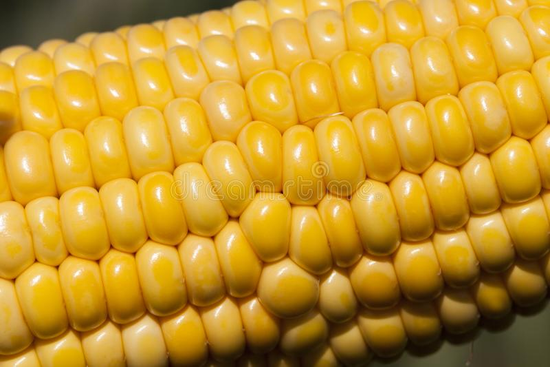 Кукурузное поле кукурузного початка стоковые фото