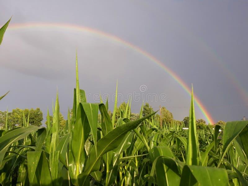 Кукурузное поле под радугой стоковое фото rf