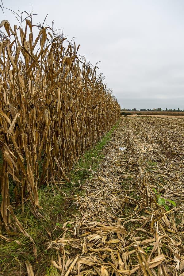 Кукурузное поле сжатое специализированной машиной стоковое фото rf