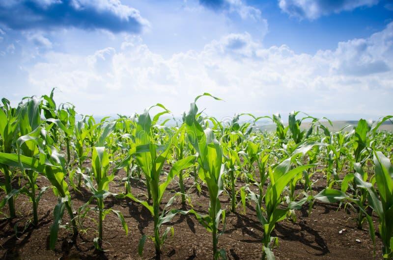 Кукурузное поле во время лета стоковое фото
