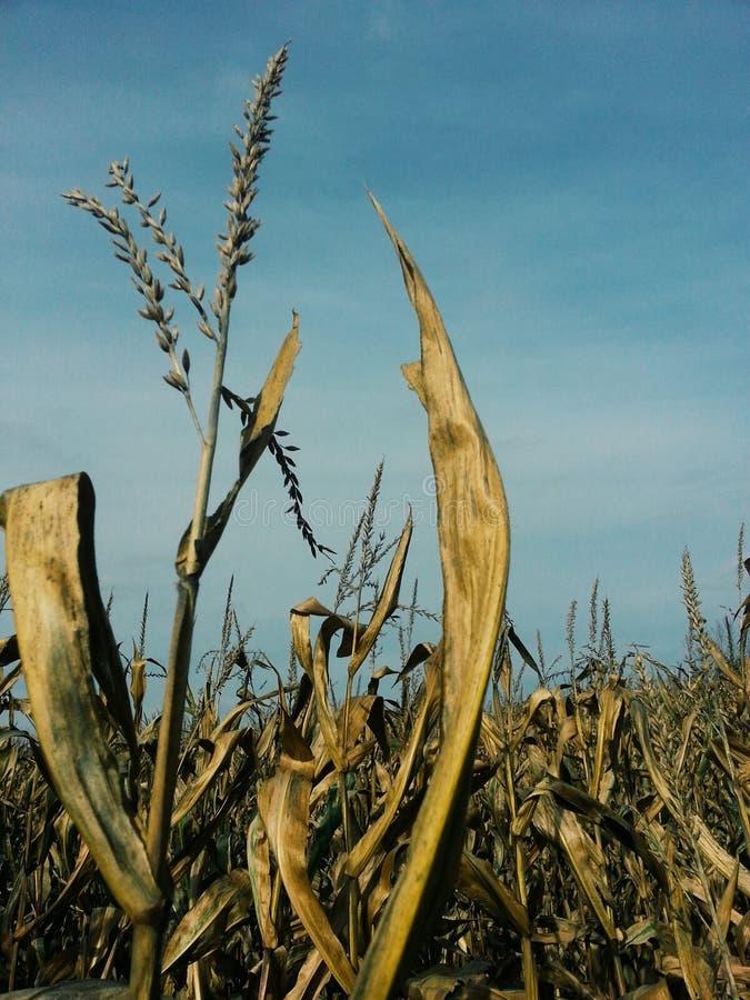 Кукурузное поле в падении стоковое фото rf