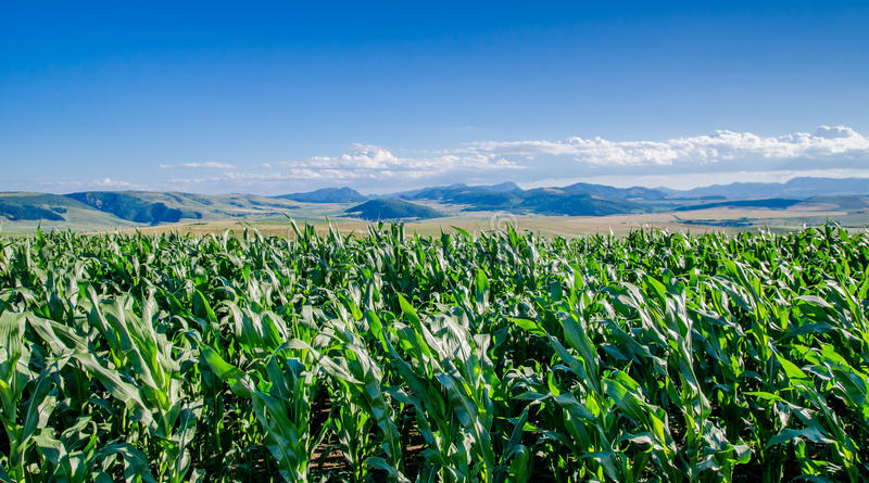 Кукурузное поле и горы стоковые изображения rf