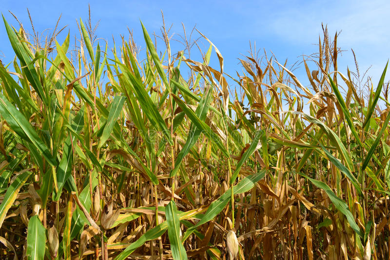 Кукурузное поле Иллинойса стоковые изображения