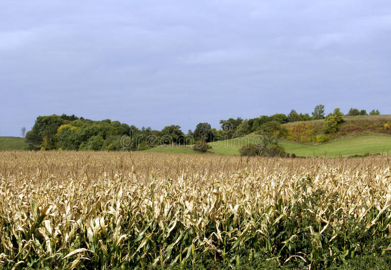 Кукурузное поле падения в Висконсине стоковое фото