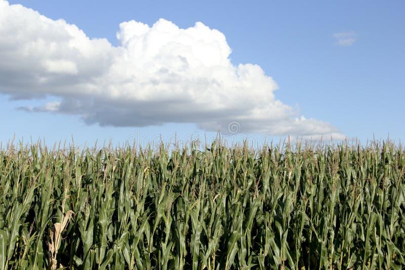 Кукурузное поле с предпосылкой голубого неба стоковое фото rf