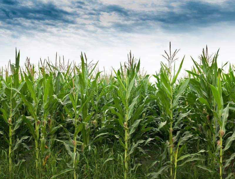 Кукурузное поле стоковые фото