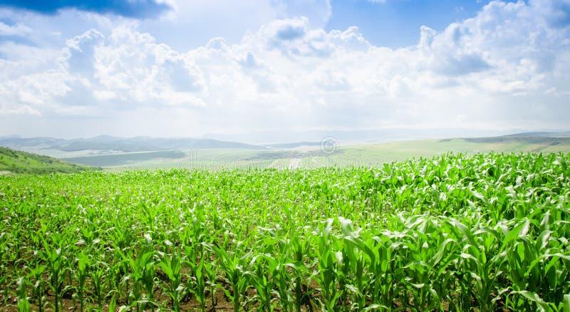 Кукурузное поле стоковое изображение