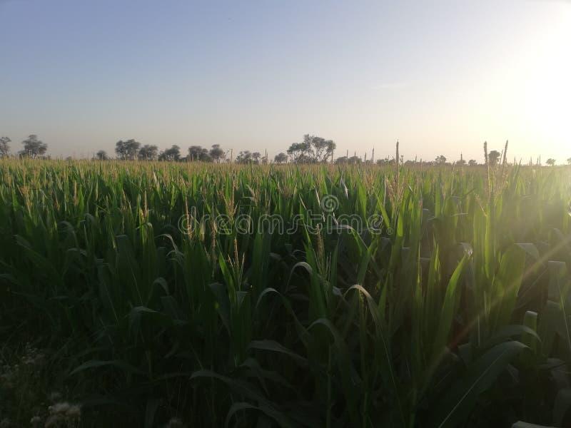 Кукурузные поля стоковые фото
