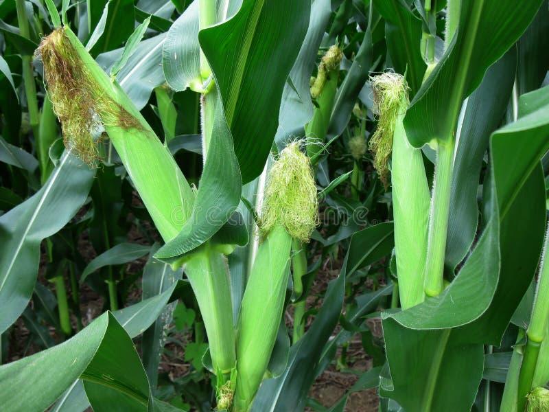 Кукурузные початки в поле стоковое изображение rf