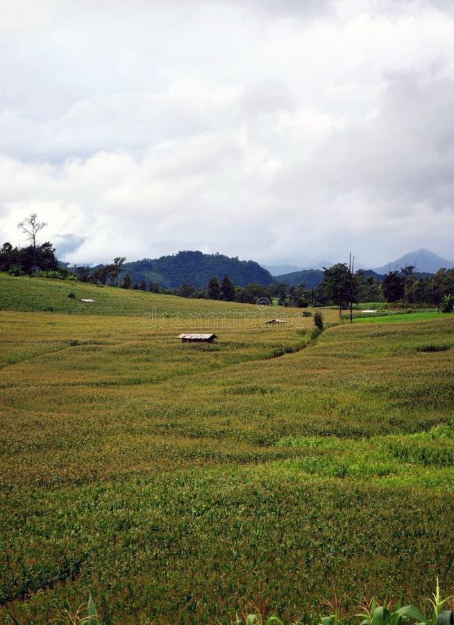 Кукурузные поля стоковые фотографии rf