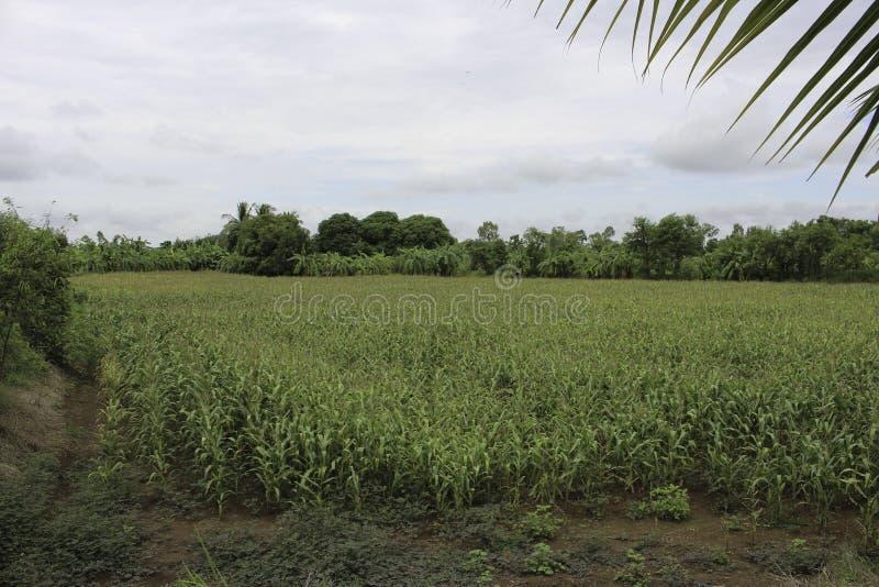 Кукурузные поля стоковое изображение