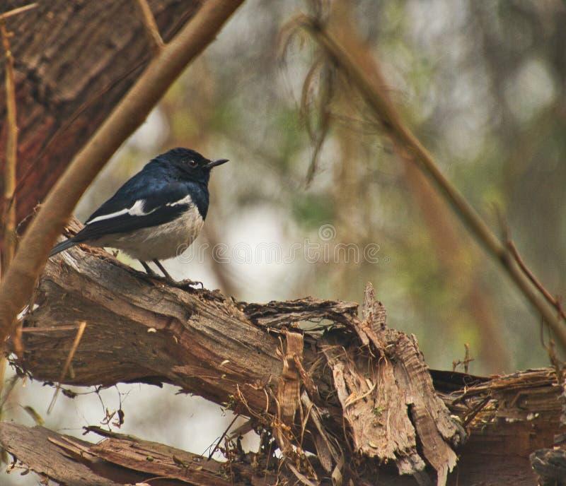 Кукушка на птичьем заповеднике Sultanpur стоковые фотографии rf