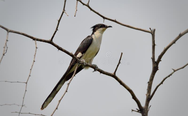 Кукушка Jacobin или пестрая crested кукушка садились на насест на ветви дерева стоковые фотографии rf