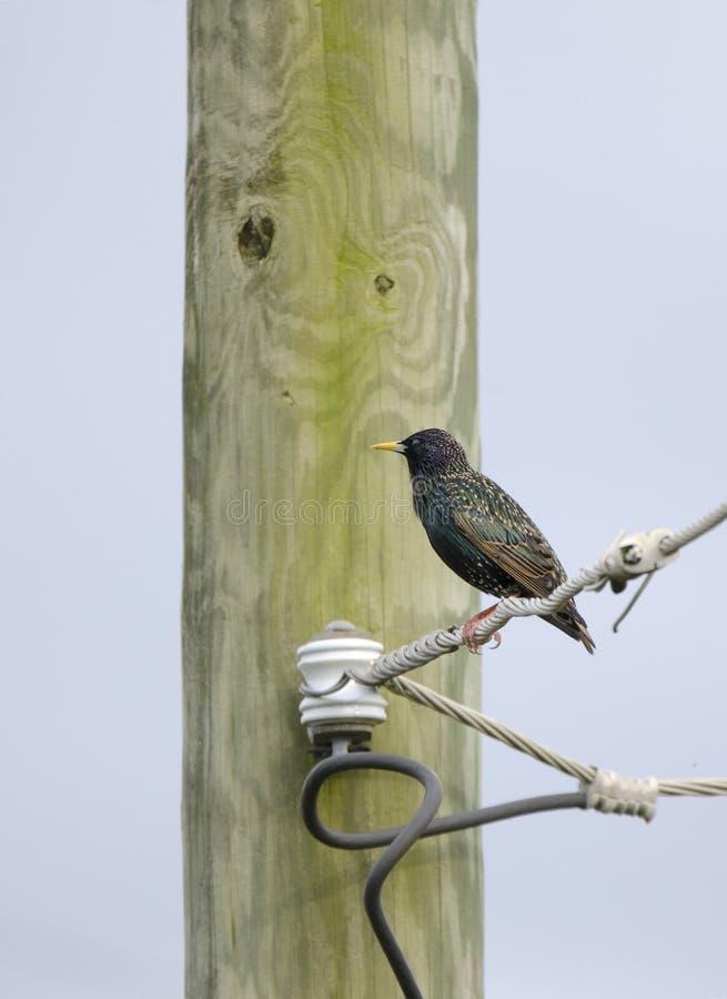 Кукушка Starling европейца садилась на насест на проводе телефона, Georgia США стоковое фото rf