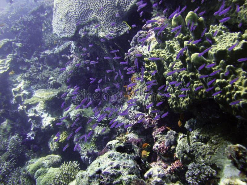 кулига рыб ювенильная пурпуровая стоковое изображение